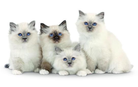 chatons sacre
