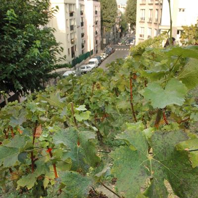 La vigne du jardin des Chaufourniers — photo Maëlle Hénaff